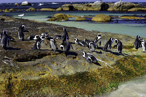 African Penguin, Boulders Beach, Nature, Water
