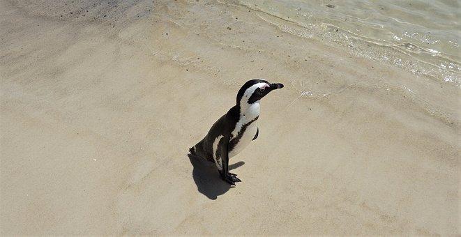 Penguin, Sand, Water, Nature, Beach