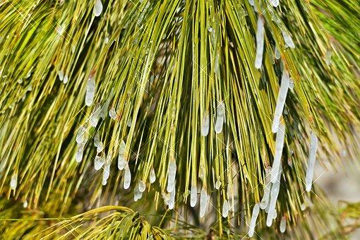Tree, Conifer, Pine, Needles, Icing, Winter