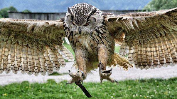 Nature, Eagle Owl, Raptor, Owl, Bird, Feather