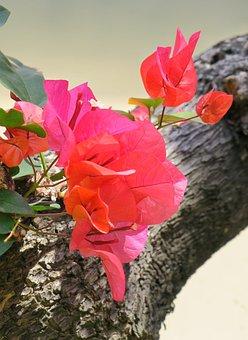 Leaves Flowers, Bougainvillea, Bougainvillea Azalea