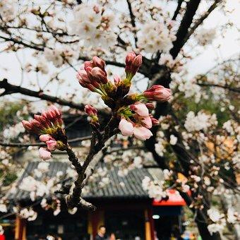 Flower, Tree, Cherry Wood, Branch, Plant