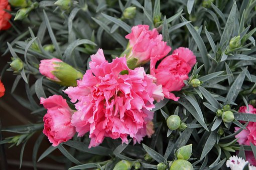 Flower, Plant, Eyelet, Carnation Pink, Buttons