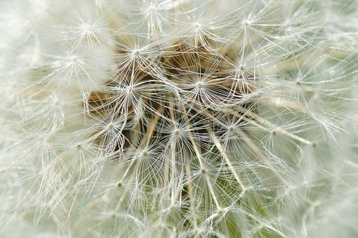 Macro, Dandelion, Chmíří, Faded Dandelion, Hairy