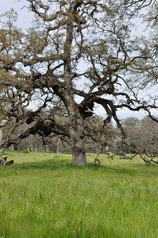 Tree, Landscape, Nature, Grass, Flora, Oak, Green