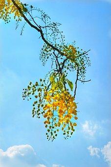 Cassia Fistula, Golden Rain Tree, Yellow, Flower