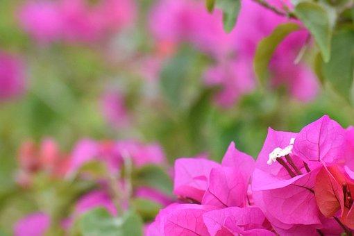 Flower, Trinitarian, Plant, Caribbean