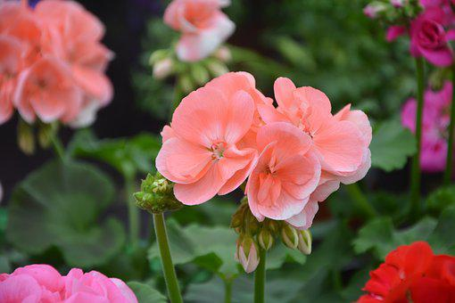 Flower, Geranium Color Salmon, Plant, Nature, Garden