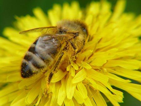 Nature, Flower, Apiformes, Pollen, Insect, Bee, Macro