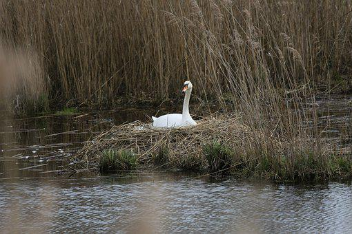 Waters, Lake, Reflection, Puddle, Nature, Swan, Bird