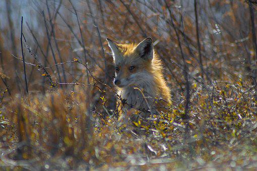Nature, Wildlife, Mammal, Animal, Outdoors, Fox