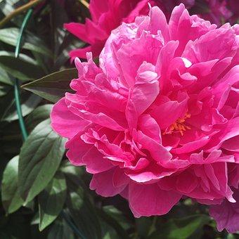 Flower, Flora, Peony, Nature, Leaf, Petal, Floral
