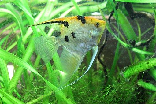 Pterophyllum Scalare, Sunfish, Fish, Nature, Immersed