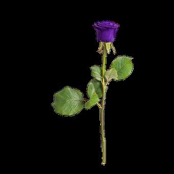 Rose, Isolated, Love, Flower, Violet, Romance