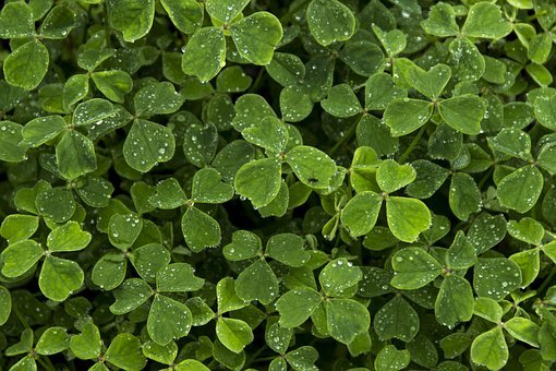Clover, Leaf, White Clover, Saint, Desktop
