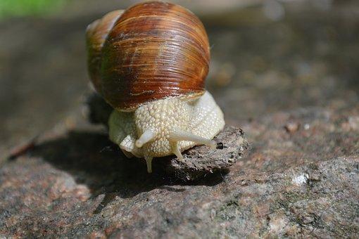Evertebrat, Slowly, Snail, Slimy
