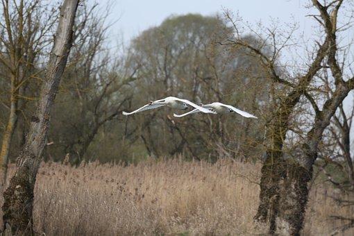 Tree, Nature, Landscape, Wood, Swan, Flight, Swans