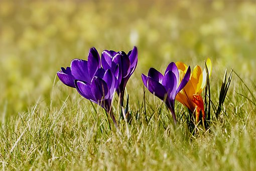 Plant, Low, Crocus, Blue, Yellow, Pretty, Early Bloomer