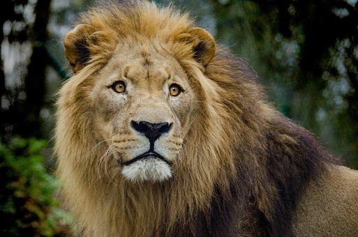 Lion, Cat, Big Cat, Imposing, Close, Portrait, Mammal