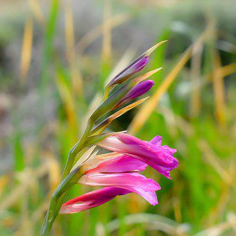 Gladiolus Italicus, Common Sword-lily, Wildflower