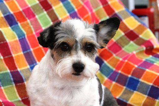 Dog, Pet, Animal, Cute, Terrier, Canine, Colors