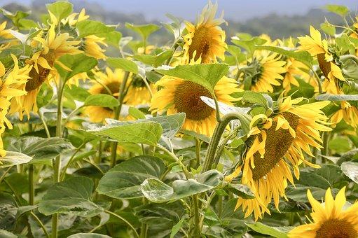 Nature, Flora, Flower, Summer, Leaf, Field, Sunflower