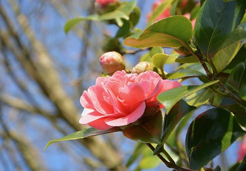 Flower Of Camellia, Pink Flower, Nature, Shrub