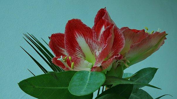 Knights Star, Amaryllis, Red Blossom, Flower, Nature