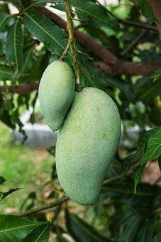 Growing, Green, Mango, Hanging, Fruit, Food, Nature