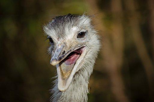 Rhea Bird, Laugh, Bill, South America, Bird