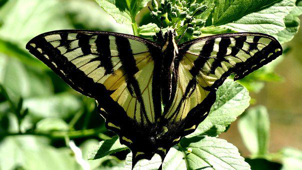 Butterfly, Insect, Nature, Lepidoptera, Wing, Outdoors