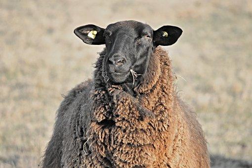 Sheep, Livestock, Head, Black, Eat, Halme, Food