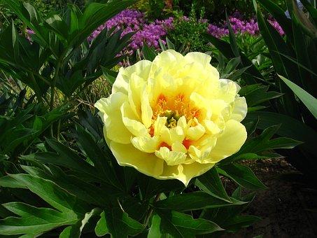 Flower, Plant, Garden, Nature, Leaf, Summer, Peony