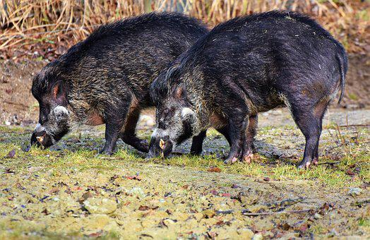 Boar, Pig, Sow, Mammal, Animal, Nature, Animal World