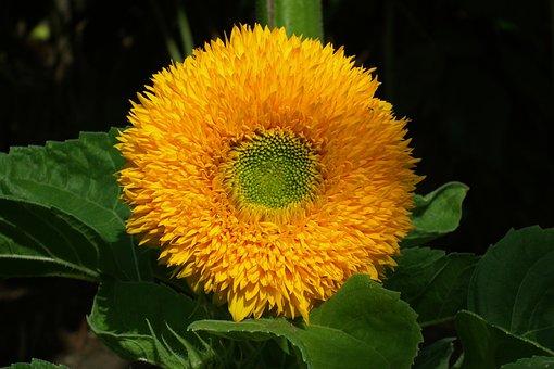 Nature, Plant, Flower, Ornamental Sunflower, Leaf