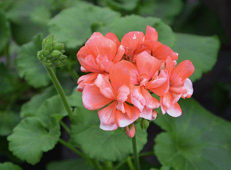Geranium, Nature, Flower, Plant, Leaf, Summer, Foliage