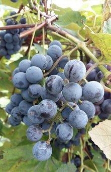 Fruit, Food, Grape, Plant Guide, Bunch, Vineyard