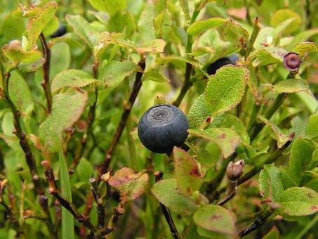 Fruit, Nature, Eating, Leaf, Plant, Bilberry