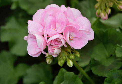 Flower, Flower Of Geranium, Rose Geranium, Plant