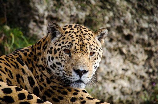 Jaguar, Panter, Big Cat, Cat, South America