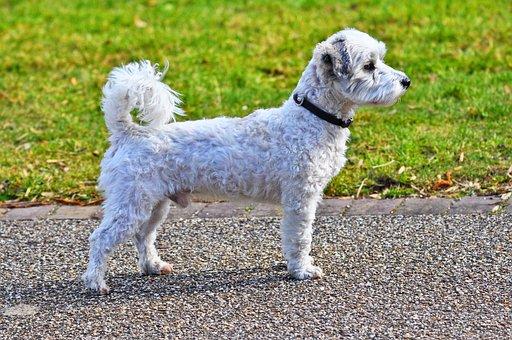 Dog, Canine, Animal, Mammal, Little Dog, Pet, Domestic