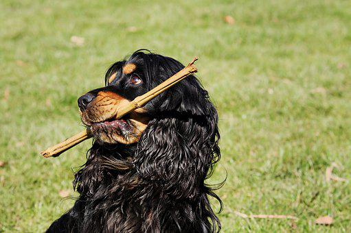 Cocker Spaniel, Dog, Plays, Meadow, Batons, Animal