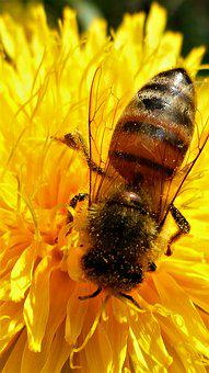 Insect, Nature, Bee, Flower, Pollination, Pollen, Wing