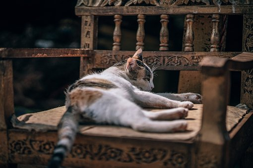 Adorable, Breed, Cat, Chair, Chill, Close-up, Coon
