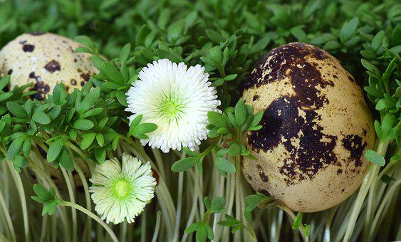 Quail Egg, Egg, Cress, Nest, Bird's Nest, Easter Nest