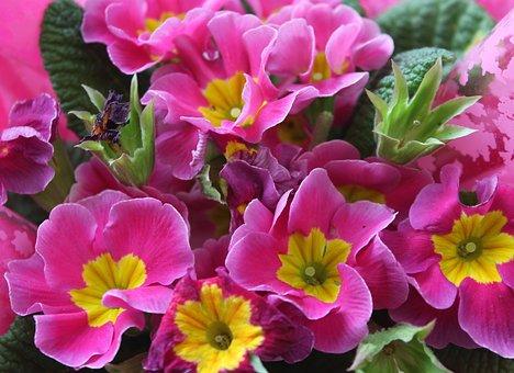 Prymulka, Primula, Flower, Nature, Pink, Plant