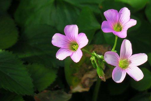 Shamrock, Hong Kong, Clover, Wild Flowers, Wild, Nature