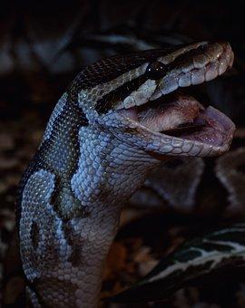 Snake, Prey, Close, Ball Python, Python Regius