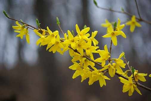 Nature, Plants, Outdoors, Flowers, Forsythia, Spring