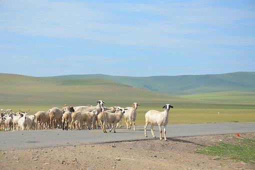 Inner Mongolia, The Flock